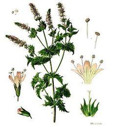 Mentha spicata/Hierbabuena/Yerbabuena