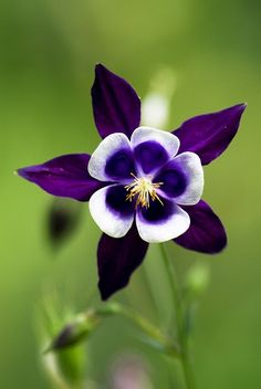 Purple columbine ~ I love all my columbine and have been spreading the seed round the house. Such a mystical little blossom!