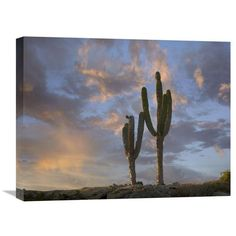 Saguaro Cacti, Cabo San Lucas, Mexico By Tim Fitzharris, 18 X 24-Inch Wall Art