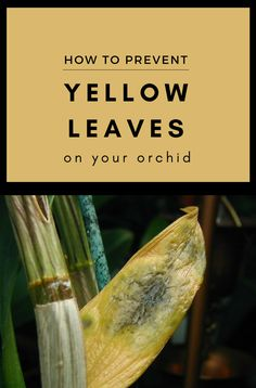How To Prevent Yellow Leaves On Your Orchid - GardenTipz.com