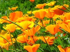 Yellow poppies and a post on English and Spanish words