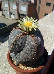 Astrophytum Myriostigma cv.  Tricostatum