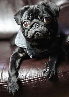 Dapper Pug #puglife #pugfanatic