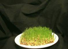 Wheat grass time lapse.