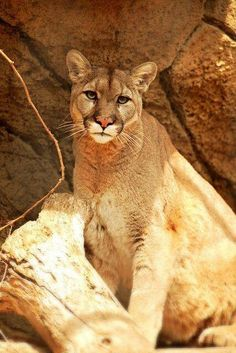 3974a28763015 53 Best mountain lion images in 2014 | Mountain lion, Animals ...