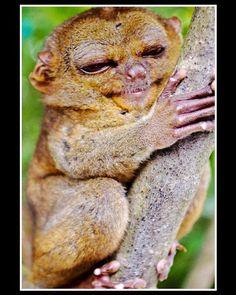 Smiling tarsier