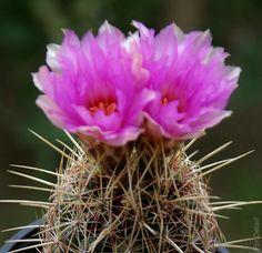Kaktus Coryphantha pseudoechinus