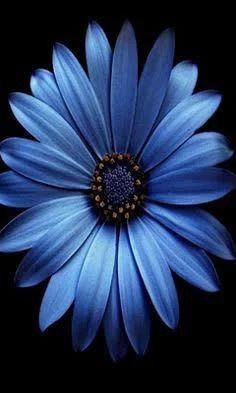 I love the lighting n set up, would do this with only a white daisy of course Exotic Flowers, My Flower, Flower Power, Beautiful Flowers, Blue Daisy, Flower Wallpaper, Shades Of Blue, Planting Flowers, Scenery