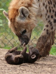 spotted hyena Beekse Bergen BB2A9498