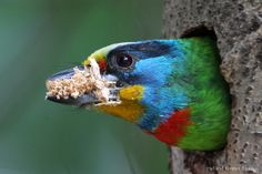 """""""Taiwan Barbet"""" in Shanghai, China (2012 """"Nat'l Wildlife"""" mag.'s 42nd annual competition)  Hal & Kirsten Snyder ~ 2nd Place, Birds 