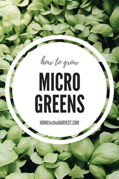 How to Grow Microgreens | Home for the Harvest #gardening #organicgardening #microgreens #growmicrogreens #organicmicrogreens #indoorgardening