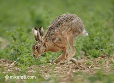 Brown hare running, cloudy April morning, Suffolk | Mike Rae