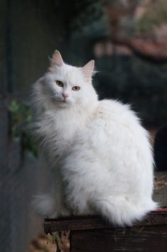 Top 5 Friendliest Cat Breeds – Page 2 – Healthy Fitness - WOrds and Style - Katzen Turkish Angora Cat, Angora Cats, Beautiful Cats, Animals Beautiful, Cute Animals, Fitness Home, Cat Allergies, Norwegian Forest Cat, Cat Aesthetic