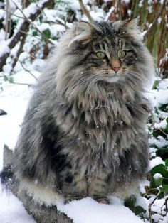 This could one of my other cat's boyfriends. She has the same coat, but not all the fur.