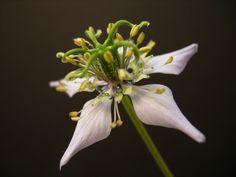 Flower of Black Cumin: Nigella sativa; by iNkwazi
