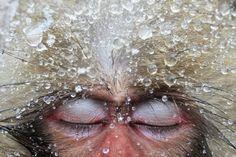 Wasser rinnt dem japanischen Makaken vom Kopf, er badet in einer heißen Quelle im Jigokudani Valley.