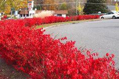 burning bush - gorgeous!