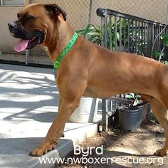 Byrd is a handsome 2 year old fawn boy. He is being fostered in Portland OR.  Find out more about him on our website -   www.nwboxerrescue.org or our Facebook page -   www.facebook.com/northwestboxerrescue