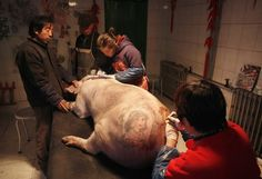 Pigs tattooed in Beijing 'Art Farm' - China. The animals would then be displayed at art exhibitions and their skins sold to collectors after they were slaughtered.