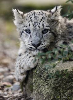 snow leopard cub ~~ by Daniel Münger ~~ what a beauty !!