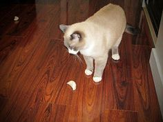 Neka is 8 year old Siamese/Ragdoll cross. She is ready to take a bite of the Fido the Cat Steamed Dumpling catnip cat toy.