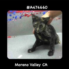 BECOMES URGENT & AT RISK AFTER JUNE 22ND  CAME IN WITH A474657 658 659 661  MAESHA #A474660 Moreno Valley CA female tortie Domestic Shorthair. The shelter thinks I am about 4 months old I have been at the shelter since Jun 15 2017 and I may be available for adoption on Jun 22 2017 at 4:36PM.  http://ift.tt/2rRCIy7  Moreno Valley Animal Shelter at (951) 413-3790 Ask for information about animal ID number A474660  #Adoptdontshop #Adoptdontshopcalifornia #morenovalley #californiascats…