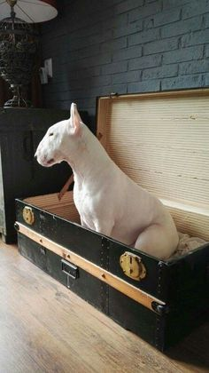 Bullie in a trunk💜💜 Chien Bull Terrier, Bull Terrier Puppy, Best Dog Breeds, Best Dogs, I Love Dogs, Cute Dogs, Animals And Pets, Cute Animals, Photo Animaliere