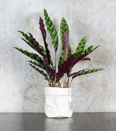 Le Calathea Lancifolia est parfait pour assainir son intérieur