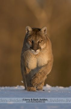 """Winter Prowl,"" Mountain Lion, by ©Jerry & Barb Jividen 