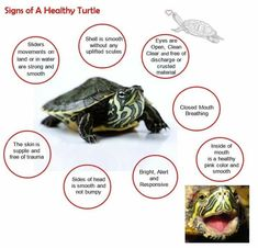 Crazy Wonderful World of Aquatic Turtles - Support🐢 has members. Our forum is an interactive and friendly group concentrating on all aquatic. Yellow Bellied Slider, Red Eared Slider Turtle, Turtle Cage, Turtle Pond, Turtle Traps, Tartaruga Aquatica, Yellow Belly Turtle, Pet Turtle Care, Aquatic Turtles
