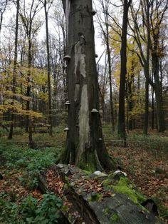 Troudnatec kopytovitý, jedna z našich nejhojnějších dřevokazných hub - Čarovná lékárna kolem nás Plants, Plant, Planets