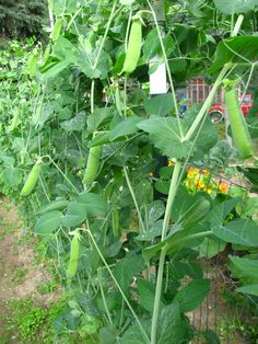 Oodles and oodles of peas hung from our pea fence last year. The fence also serves well for playing hide-and-seek with our daughter.  —Rod Boyce, managing editor
