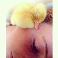 From time to time, baby ducks will take a nap on your cheek