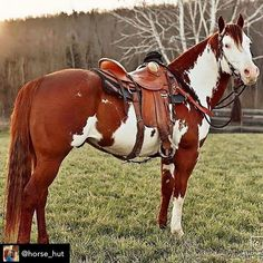 Paint horse stallion with western saddle. Cute Horses, Pretty Horses, Horse Love, American Paint Horse, American Quarter Horse, Quarter Horses, Horse Facts, Most Beautiful Horses, Western Riding