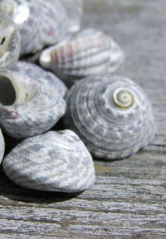 Grey Sea Shells