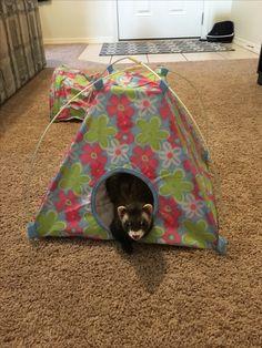 Ferret tent ?? & Funny Pic Dump (13 Pics)!   Funny   Pinterest   Ferret Funny ...