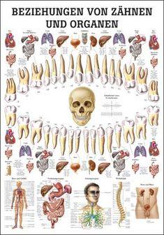 Lehrtafel - relación de los órganos y los dientes | Head - dientes - los ojos | Terapia Varios | Cuestiones tales como el Catálogo de Él su vida útil | Él vive - Fachversand