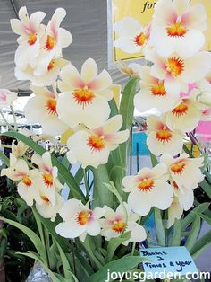 gorgeous pansy orchid Beautiful Flowers Garden, Pretty Flowers, Beautiful Birds, Water Garden, Garden Plants, House Plants, Tropical Flowers, Tropical Plants, Water Culture Orchids
