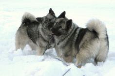 Norwegian Elkhounds. Max looked just like these guys. Amazing dog.