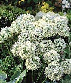 Allium, Mount Everest,