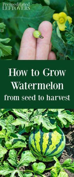 How to Grow Watermelons #Organic_Gardening