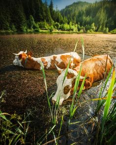 It's too hot Animal Photography, Travel Photography, Visit Slovenia, Cows, Country Life, Stranger Things, Lakes, Funny Animals, Places To Visit