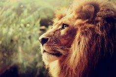 lion, animal