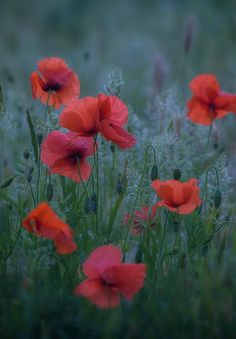 35PHOTO - iryna - Poppies