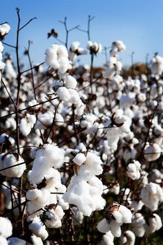 Cotton field in Alabama