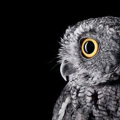 Impresionantes Retratos de Buhos Capturados Con Un Detalle Extremo