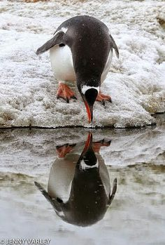 Penguin looking at his reflection
