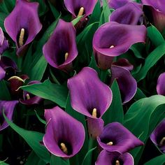 Calla Lillies + Purple