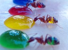 Mohamed Babu created technicolor ants by feeding colored sugar water to ants with translucent abdomens. Babu conducted the experiment in his backyard after his wife noticed the ants turning white as they drank spilled milk. Photo New, Foto Macro, Fotografia Macro, Taste The Rainbow, Food Coloring, Science Nature, Beauty Science, Nature Nature, Nature Quotes