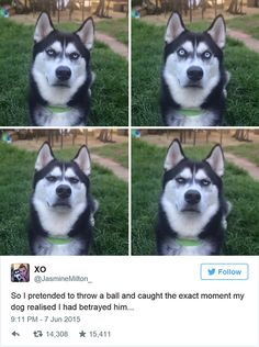 Very interesting post: 15 Funny Pictures. Husky Find a Way Out of Any Situation!сom lot of interesting things on Funny Dog. Cute Funny Animals, Funny Animal Pictures, Funny Cute, Funny Dogs, Funny Husky, Funny Memes, Dog Pictures, Siberian Husky Funny, Husky Meme
